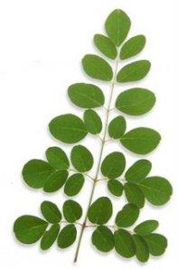 moringa-leaf-superfood